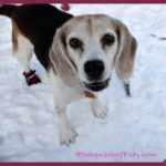 Wordless Wednesday: Frame-ably Cute Beagle