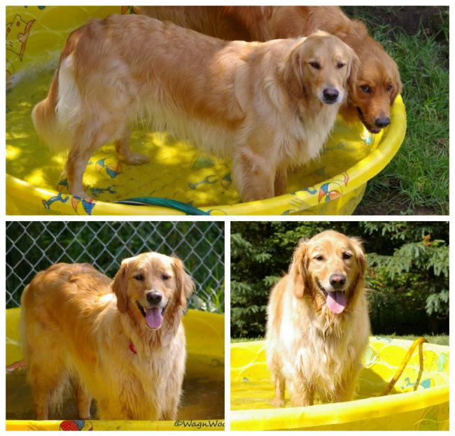 Sheba Loved Her Pool