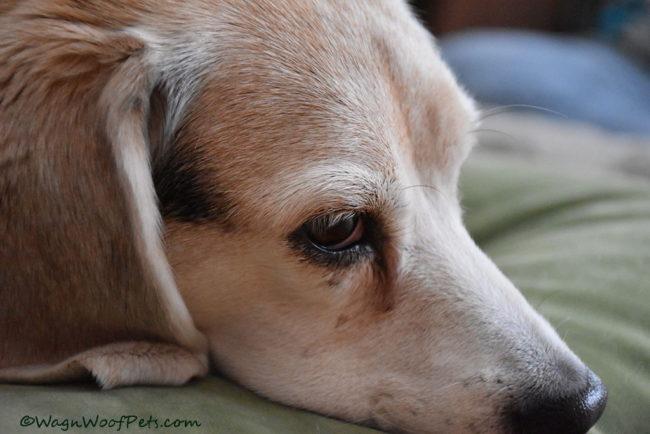 Sad Beagle, Happy Beagle