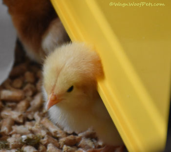Chick Peeking out from Under Brooder Heater