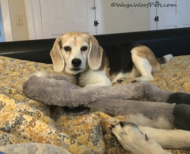 What is This Beagle Thinking?