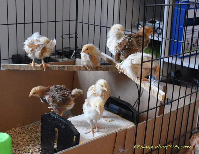 The Chicks are Growing Fast!