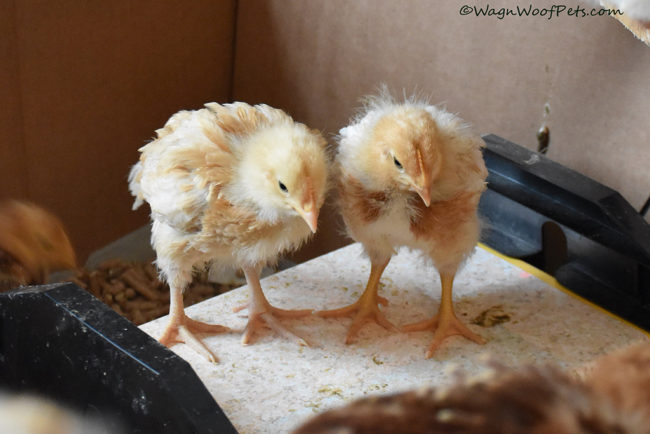 A Pair of Growing Chicks
