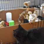 Mama Cat Sam & Her Growing Chicks