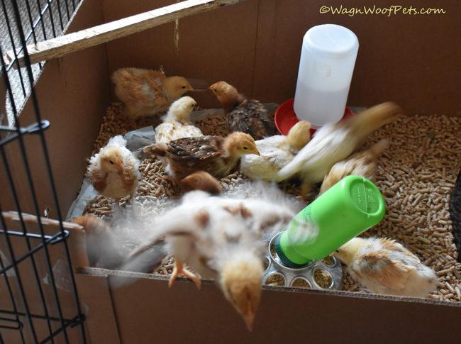 Photobombing Chicks!
