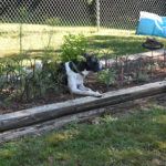 Gardening with Dogs Part 6 - Is Your Yard & Garden Safe?