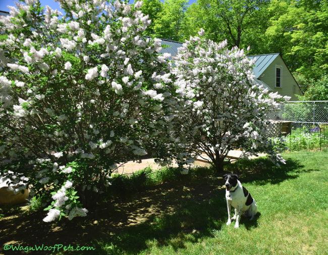 Flower Friday - Lilacs