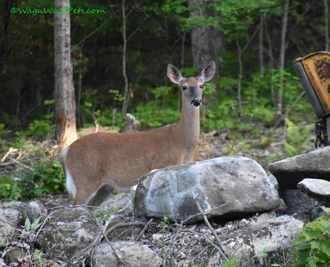 Big Doe on Wildlife Weekend