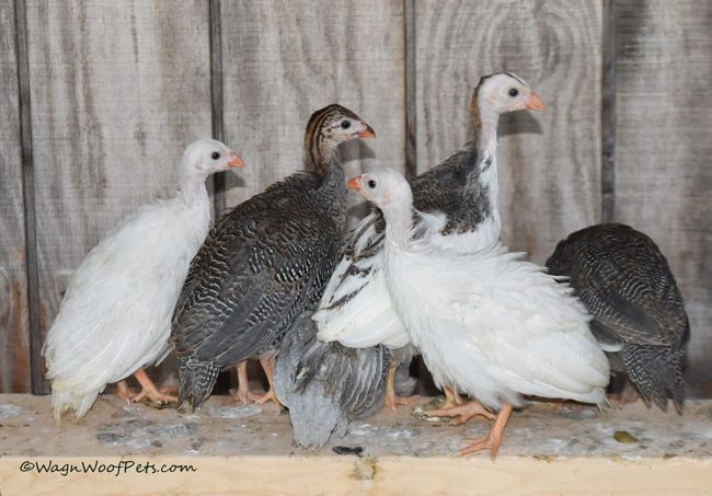 Guinea Hens as First Line of Defense Against Ticks