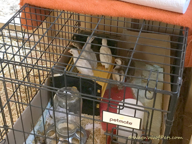 Our Newest Additions to the Farm - Guinea Keets