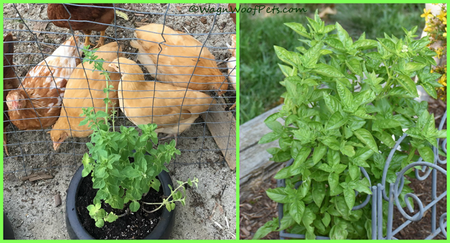 Oregano & Basil - Good for Chickens!