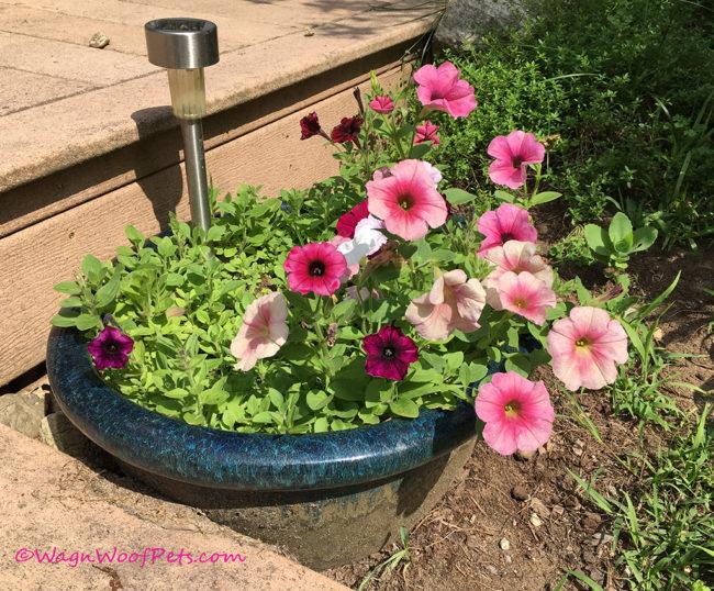 Flower Friday - Petunias