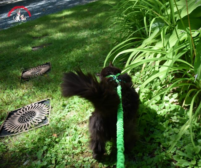 Samantha and her new Come with Me Kitty Harness & Leash