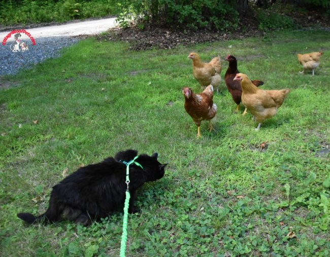 Mama Cat Sam Reunited with her Chickens