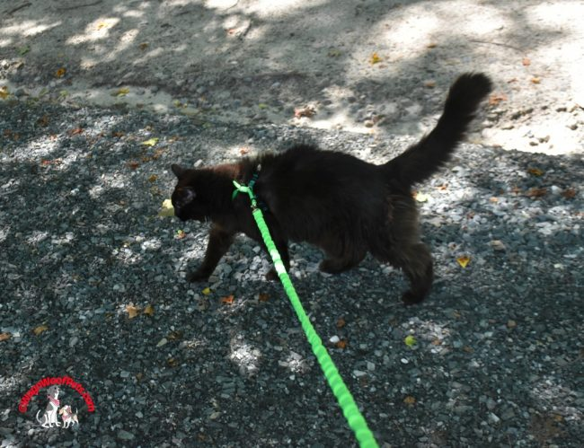 Cat Sam on her New Harness and Leash