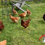 The Sky is Falling! & More Chicken Drama