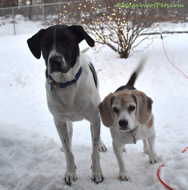 Labrador retriever Mix and Beagle - Best Friends