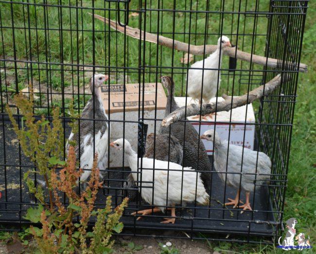 Guinea Keets Getting Some Fresh Air