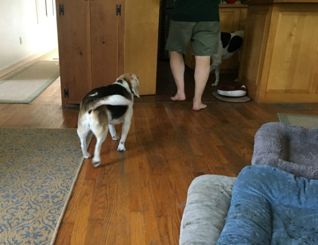 Beagle Herding Dad to the Kitchen for #NomNomNow