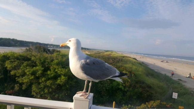 Seagull in Ogunquit Maine