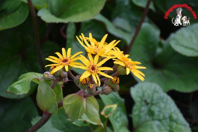 Ligulara dentata - Leopard Plant