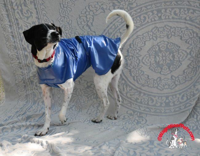 Luke Models His Raincoat - Dog Models