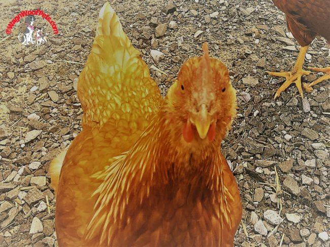 Sunday Selfie Starring Golden Comet Chicken Mama G