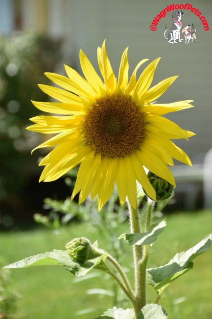 Put on a Happy Face - Sunflower