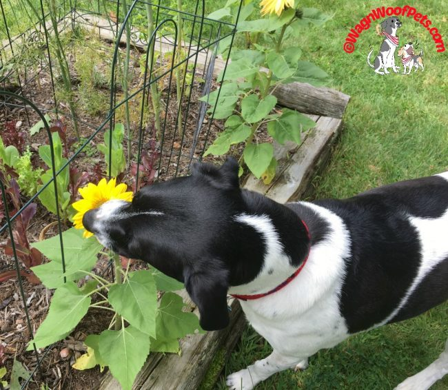 Luke Smelling the Sunflowers!