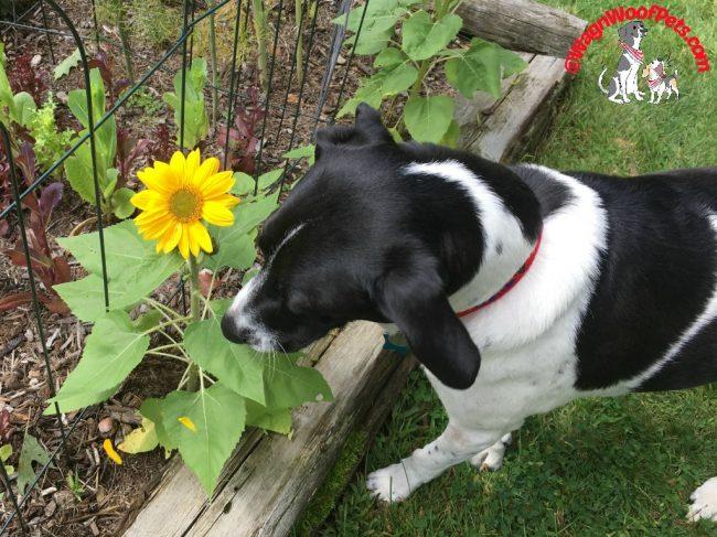 Luke and His Sunflowers