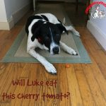 Farm Dog Luke Vs. Cherry Tomato – Friday FunDay