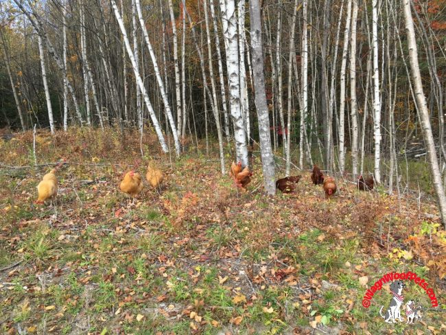 Chickens Doing Clean Up in the Woods