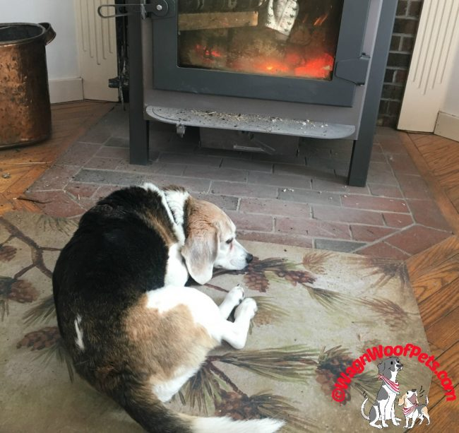 Beagle Cricket Looks Forward to Napping in  front of the Wood Stove