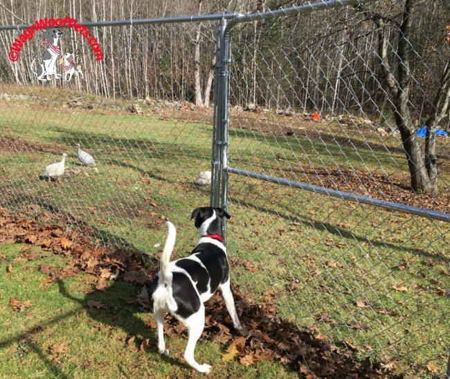 Farm Dog Watches Guinea Hens
