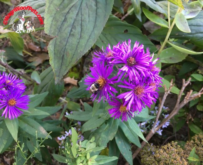 Flower Friday - Fall Asters