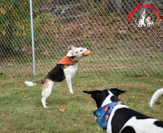 Crazy Eyed Beagle