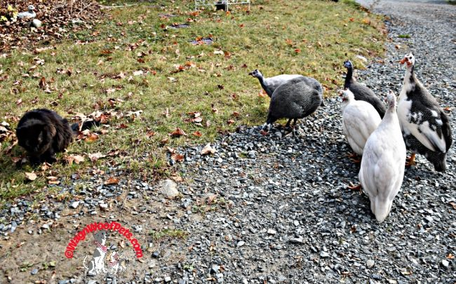 Cat and Guinea Hens