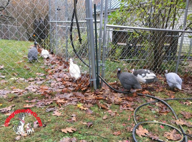 Guinea Hens Separated by Fence