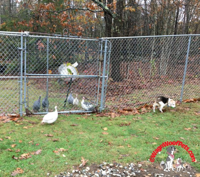 Guinea Hens and Beagle