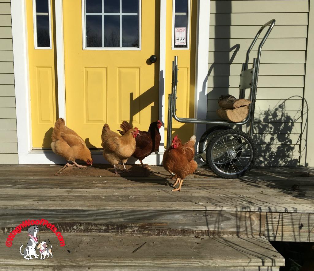 Farm Adventures - Chickens Enjoying the Warm Sun
