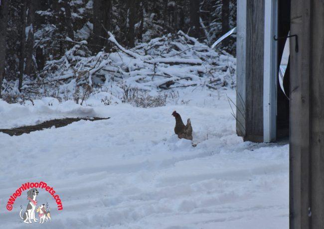 Golden Comet Chicken Braves the Snow