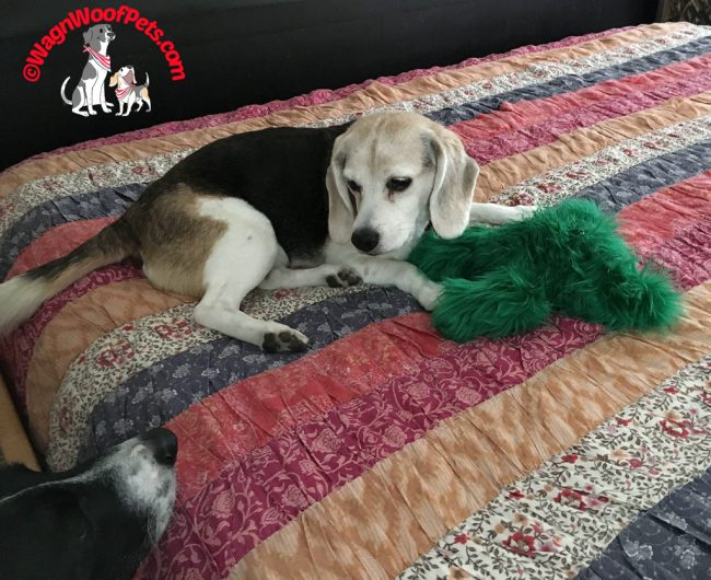 Beagle Not Sharing Her West Paw Christmas Boogie Toy