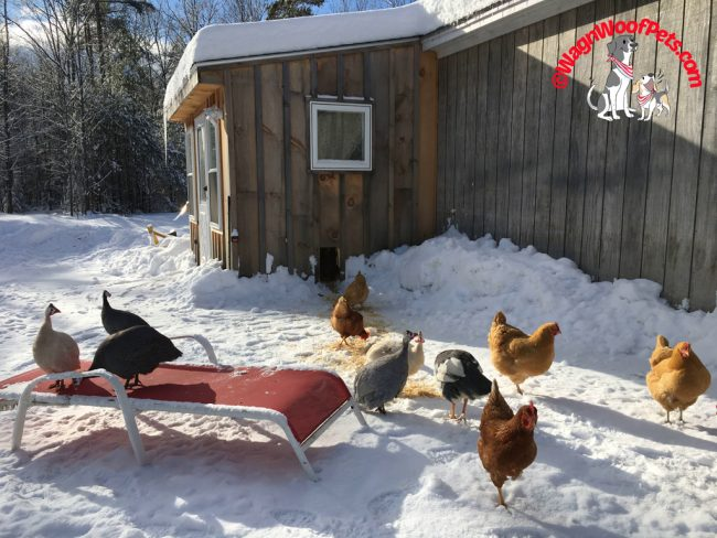 Making Winter Easier for the Hens