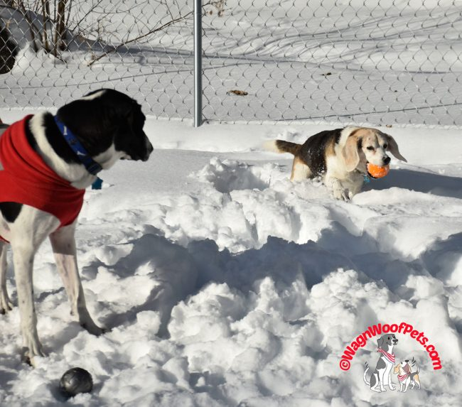 Beagle Stays Active in Spite of Heart Condition