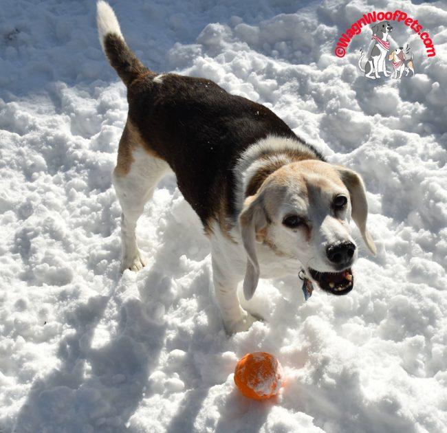 Happy Beagle Cricket