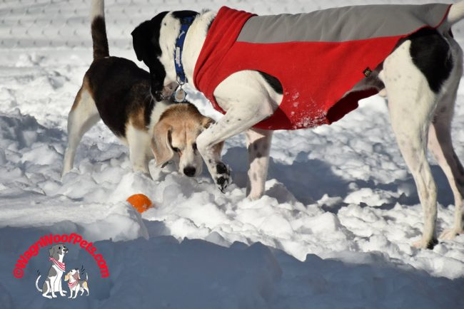 Beagle and Lab Mix Play Ball in the Snow