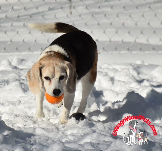 Beagle Playing Ball in the Snow