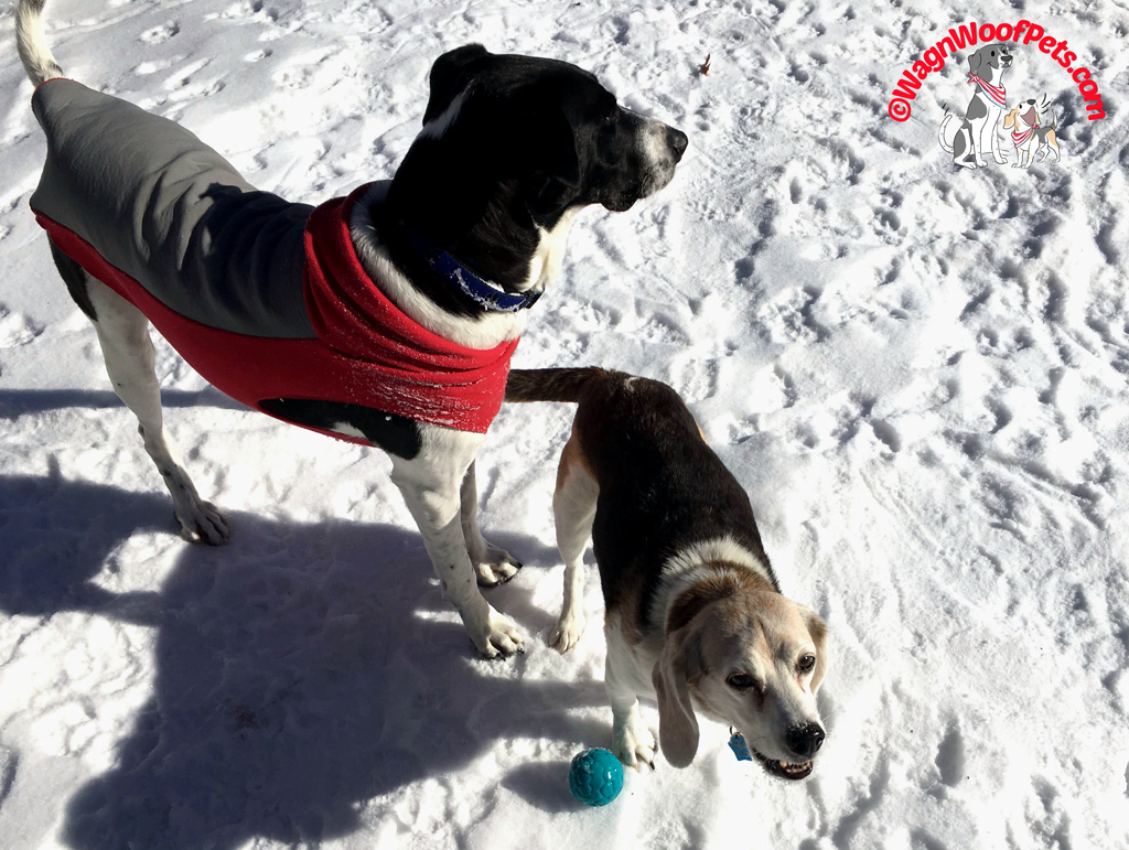 Beagle and Lab Mix Having Fun in the Snow - Snow Mischief!