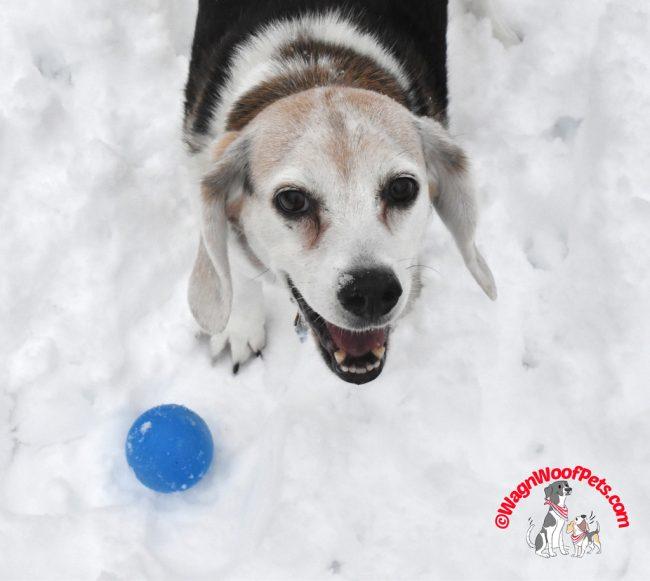 Beagle Smile