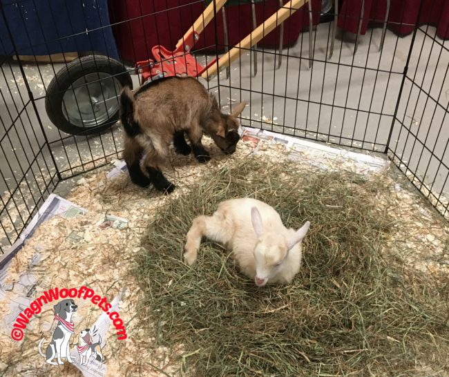 Baby Goats at the NH Farm & Forest Expo